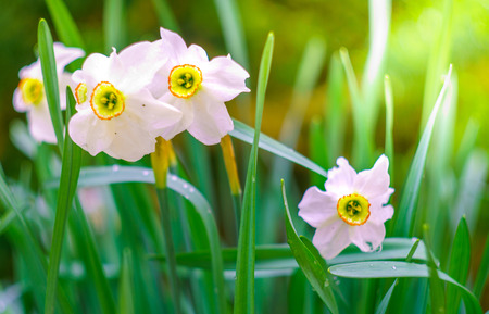 blossom narcissus in the garden in springtime Stock Photo
