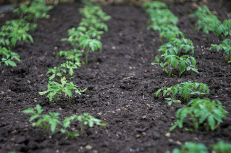 piri: green seedlings sprouts in the garden on the ground after rain in summer day
