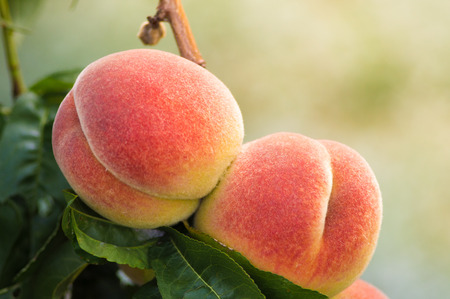 Fresh peaches growing on a tree summer time