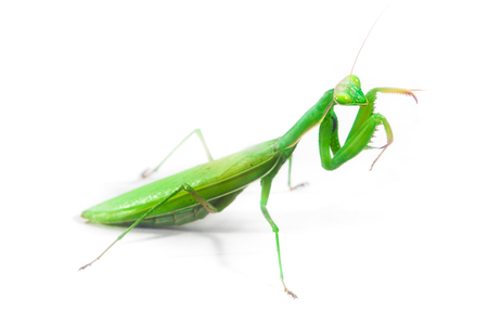 European Mantis or Praying Mantis, Mantis religiosa, on isolated white background Stok Fotoğraf
