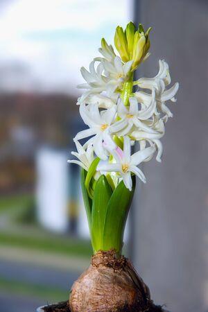 Giacinto bianco sulla finestra. fiori per la casa