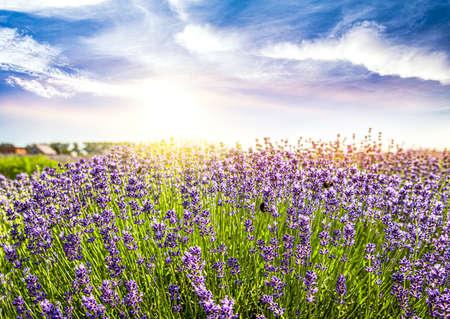 Fields of Lavender Against Blue Sky