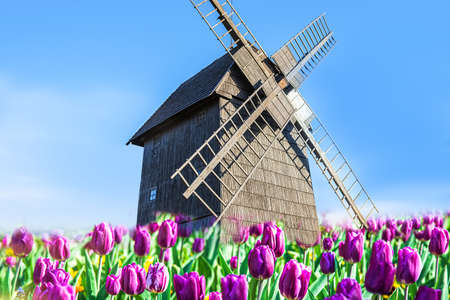 Vibrant tulips field with Dutch windmill, Pink fresh tulips background for banner
