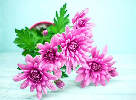 Bouquet of Chrysanthemums Isolated, pink chrysanthemum flower