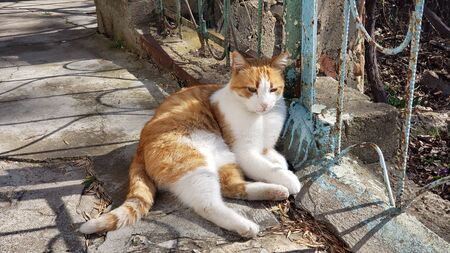 An adult fat cat of a white-red color with a contented muzzle, lies and rests under a Bush of green thuja, falling asleep on concrete steps in the shade under the rays of the sun.