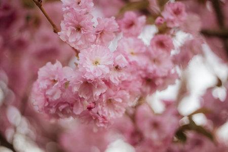 Spring Sakura blossoms, pink flowers.