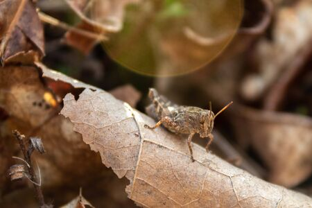 Portrait of a grasshopper resting on a dry leaf on a sunny summer afternoon