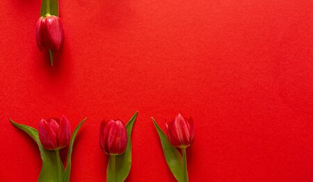 Fresh Tulips. Cut flowers. On a red background. Red Tulips Flowers for the vase. The decoration of the apartment. Romantic flowers. Perfect for a gift.