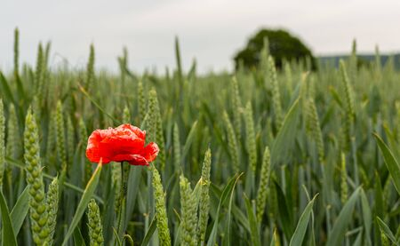 Poppy in a barley field. Young cereals in the field. Field weeds. Seasonal flowers. Flower with red petals. A delicate and unstable plant. A farm in Germany. Foto de archivo