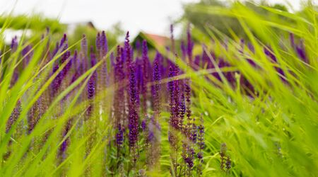 Wild lavender. Colorful herbs. Field flowers. Ingredients of herbal tea. Purple Inflorescence. Foto de archivo
