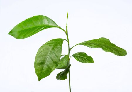 Ficus benjamina young seedling. Plant on a white background. Isolated from background. Potted flowers. Domestic cultivation of plants.