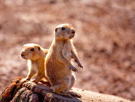 Two prairie dogs sitting on a log keeping a look out for predators photo