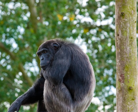 hairy arms: A chimpanzee sitting high above the ground looking out in a thoughtful manner Stock Photo
