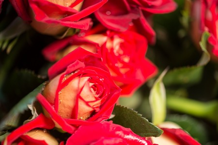 incomparable: Incomparable red roses with small drops of dew