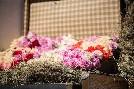 valise: Great colored roses growing in the flower-bed in the form of valise edging with straw