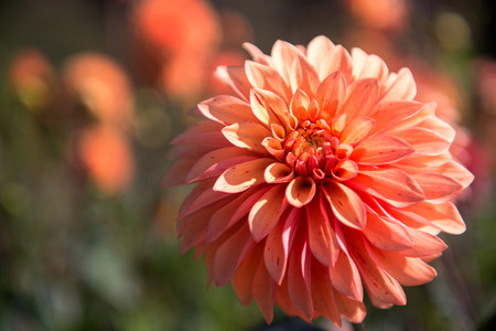 Selective focus on the beautiful orange aster photo