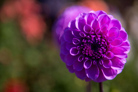 Selective focus on the beautiful violet aster photo