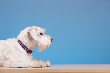 groom: He is unwell. Portrait of a cute little dog lying on the table against blue background Stock Photo