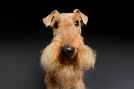 airedale terrier dog: He willl be a loyal and trustworthy friend. One standing Black brown Airedale Terrier dog isolated on black background Stock Photo