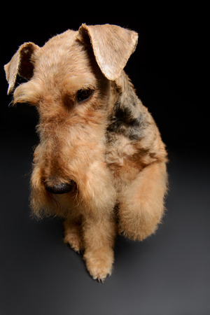 airedale terrier dog: A great representative of her breed. One standing Black brown Airedale Terrier dog isolated on black background Stock Photo