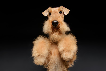 airedale terrier dog: Waiting for a delicious treat. Black brown Airedale Terrier dog standing on hind paws isolated on black background