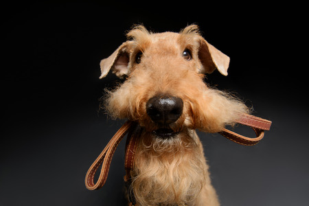 airedale terrier dog: Dog with leather leash. Portrait of black brown Airedale Terrier dog with a leash in the mouth isolated on black background