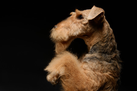 submissive: Waiting for a delicious treat. Side view portrait of black brown Airedale Terrier dog standing on hind paws isolated on black background