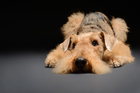 airedale terrier dog: Waiting to go for a walk. Portrait of black brown Airedale Terrier dog lying on the floor isolated on black background