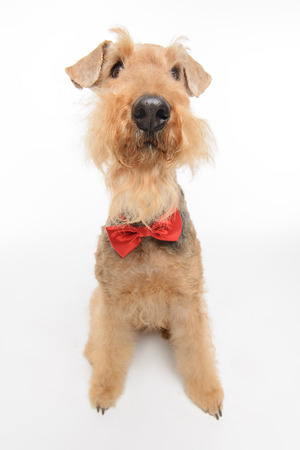 airedale terrier dog: Funny little hipster. Top view portrait of black brown Airedale Terrier dog with a bow tie isolated on white background with copy space