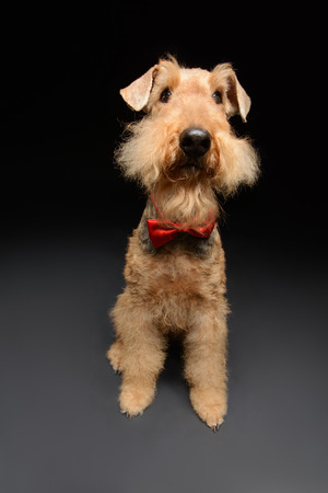 submissive: Funny little hipster. Portrait of black brown Airedale Terrier dog with a bow tie isolated on black background