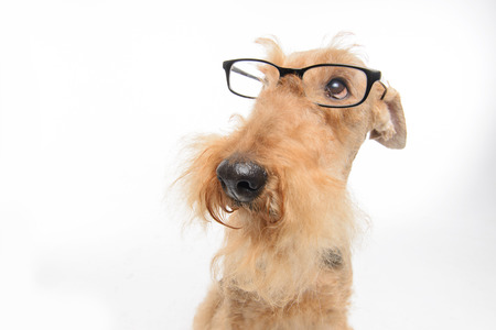 airedale terrier dog: Funny little hipster. Top view portrait of black brown Airedale Terrier dog with eyeglasses isolated on white background Stock Photo