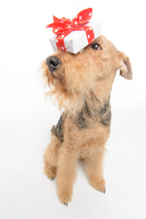 airedale terrier dog: Valentines dog. Top view portrait of black brown Airedale Terrier dog with a gift box on his nose while sitiing isolated on white background with copy space Stock Photo