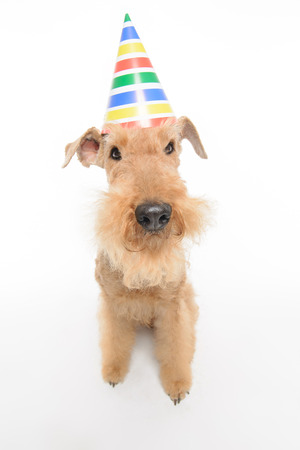 airedale: Happy birthday. Top view closeup of funny black brown Airedale Terrier dog with a party hat while sitting isolated on white background with copy space Stock Photo