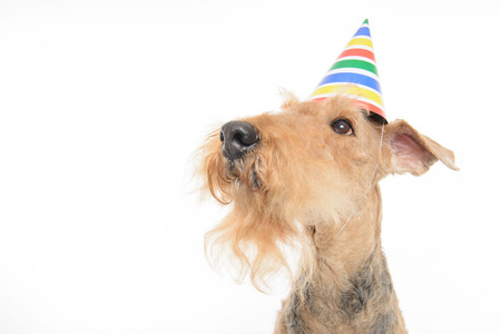 airedale terrier dog: Happy birthday. Top view closeup of funny black brown Airedale Terrier dog with a party hat while sitting isolated on white background with copy space Stock Photo