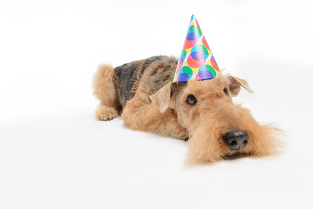 airedale terrier dog: Waiting for celebration. Top view image of sad Black brown Airedale Terrier dog in party hat lying on the floor isolated on white background
