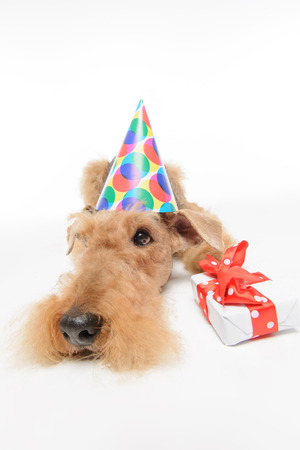 airedale terrier dog: Waiting for celebration. Sad Black brown Airedale Terrier dog lying with party hat and gift box on floor isolated on white background