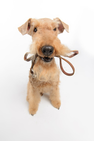 submissive: Dog with leather leash. Top view portrait of black brown Airedale Terrier dog with a leash in the mouth isolated on white background