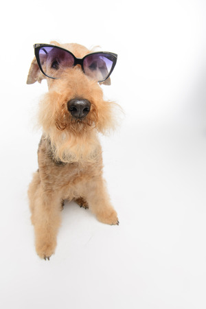 airedale terrier dog: Funny little hipster. Top view portrait of funny black brown Airedale Terrier dog with eyeglasses isolated on white background