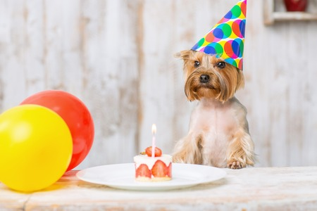 strawberry cake: Terrier and cake. Little Yorkshire terrier is leaning on the table with balloons and piece of birthday cake.