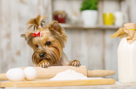 the well groomed: Curious dog. Yorkshire terrier is leaning on rolling pin and looking at chicken eggs. Stock Photo