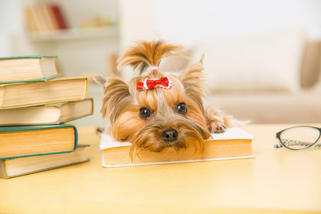 the well groomed: Pet and book. Little Yorkshire terrier is lying on the book and staring into space.
