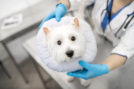 Dog feeling scared. Cute dark-eyed little white dog feeling scared visiting veterinarian in the morning 免版税图像