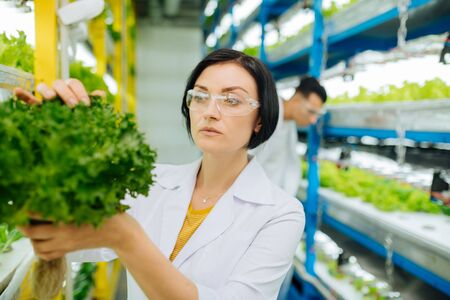 Agriculturist wearing glasses. Female dark-haired agriculturist wearing glasses looking at the structure of lettuce Banco de Imagens