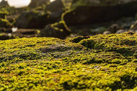 Rocky seashore with green seaweed under warm sun