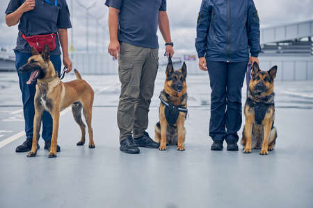 Close up of airport security workers with two German Shepherd dogs and Malinois dog Imagens