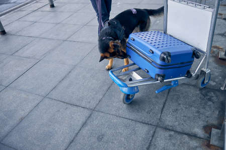 German Shepherd dog sniffing travel suitcase while searching for drugs
