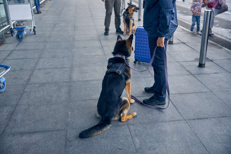 Male inspector with German Shepherd dog checking territory of airport