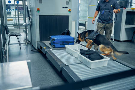 Male security worker and German Shepherd dog checking travel suitcase while searching for drugs or other illegal items Imagens