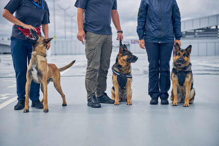 Malinois dog and two German Shepherd dogs sitting beside handlers at airport Imagens