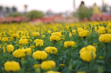 marigold, thailand photo